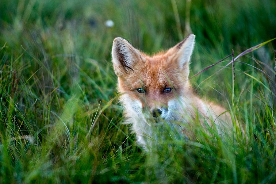 Chukotka animals: Lovely photos of Russian foxes by Ivan Kislov - 51