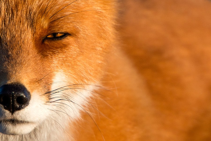 Chukotka animals: Lovely photos of Russian foxes by Ivan Kislov - 52