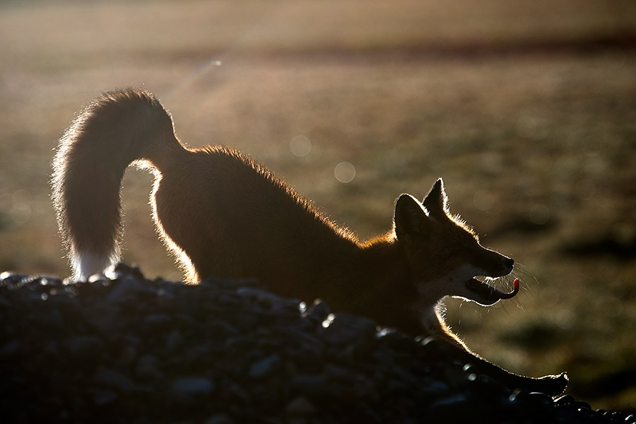 Chukotka animals: Lovely photos of Russian foxes by Ivan Kislov - 54