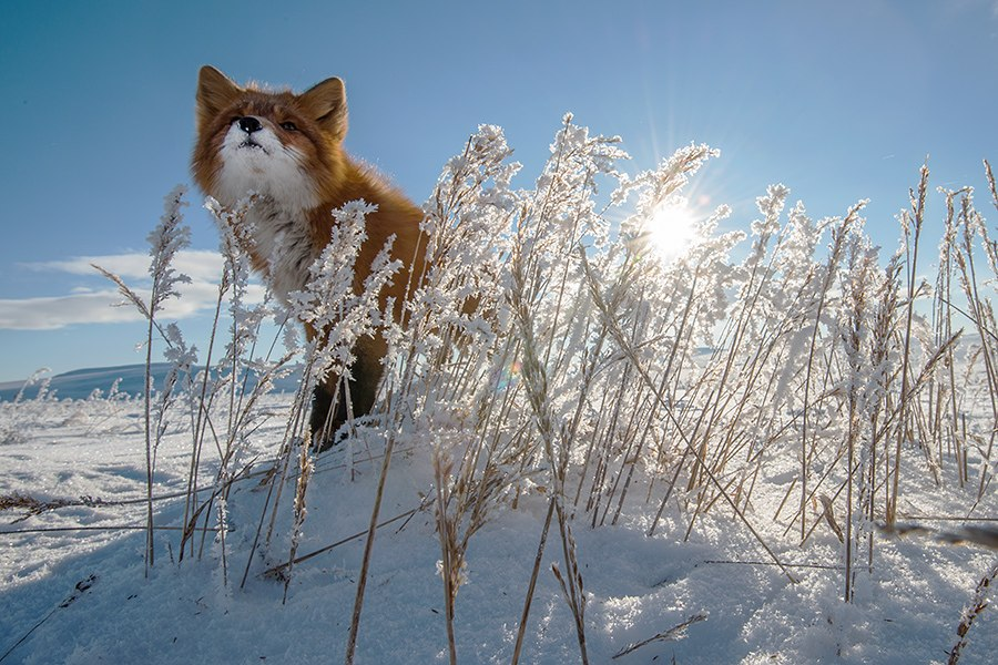 Chukotka animals: Lovely photos of Russian foxes by Ivan Kislov - 57