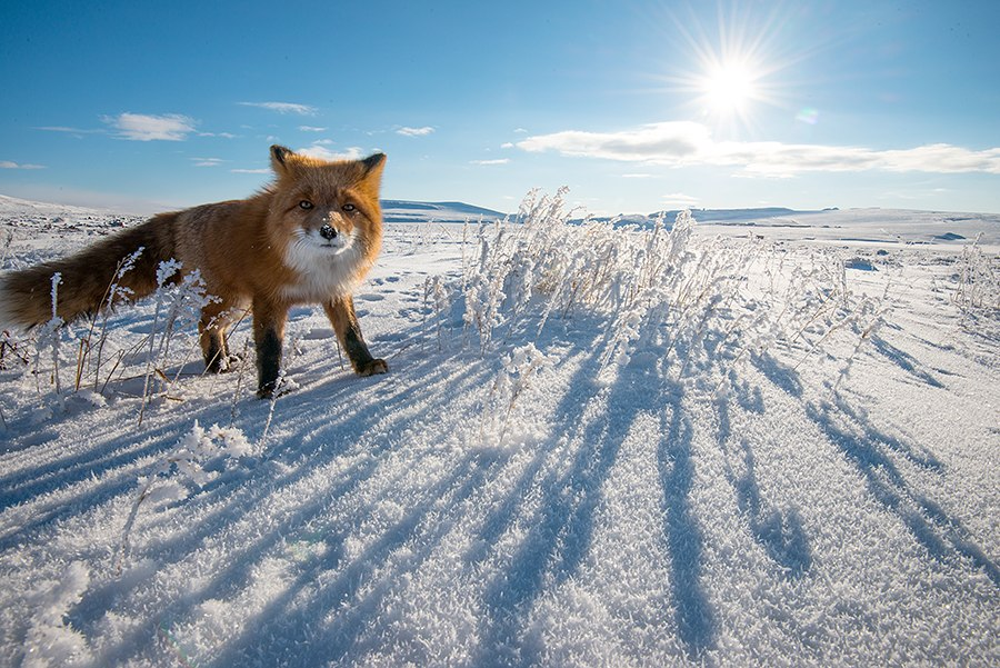 Chukotka animals: Lovely photos of Russian foxes by Ivan Kislov - 59