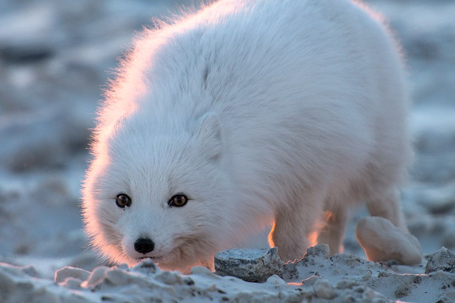 Chukotka animals: Lovely photos of Russian foxes by Ivan Kislov - 60