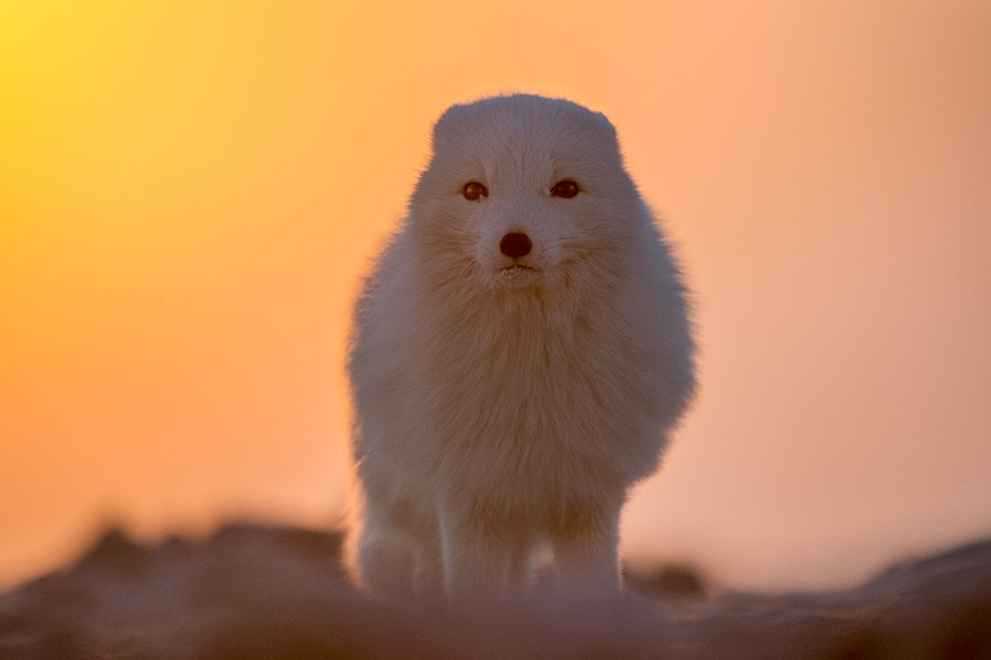 Chukotka animals: Lovely photos of Russian foxes by Ivan Kislov - 61