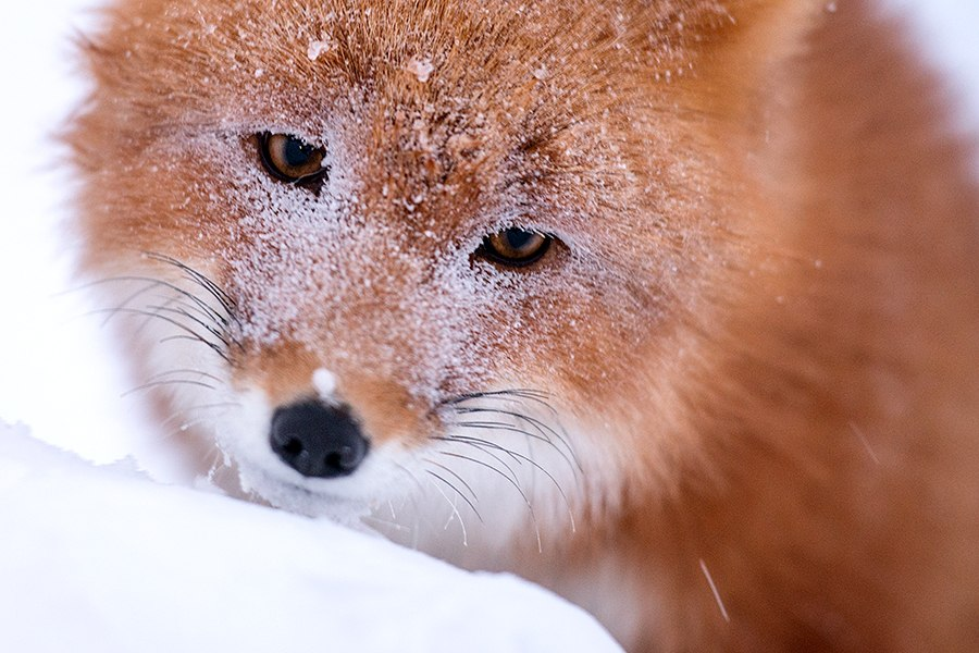 Chukotka animals: Lovely photos of Russian foxes by Ivan Kislov - 62
