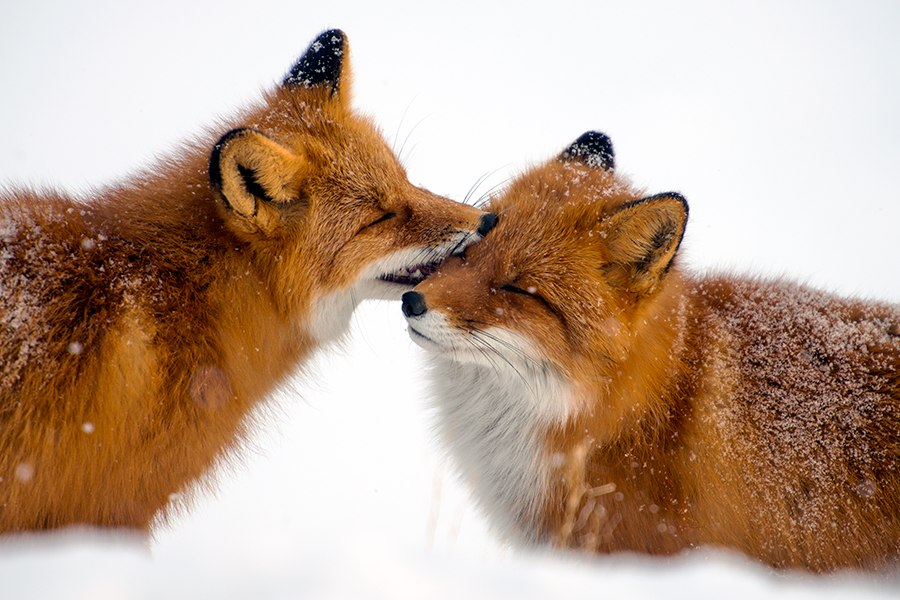 Chukotka animals: Lovely photos of Russian foxes by Ivan Kislov - 63