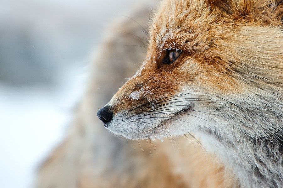 Chukotka animals: Lovely photos of Russian foxes by Ivan Kislov - 64