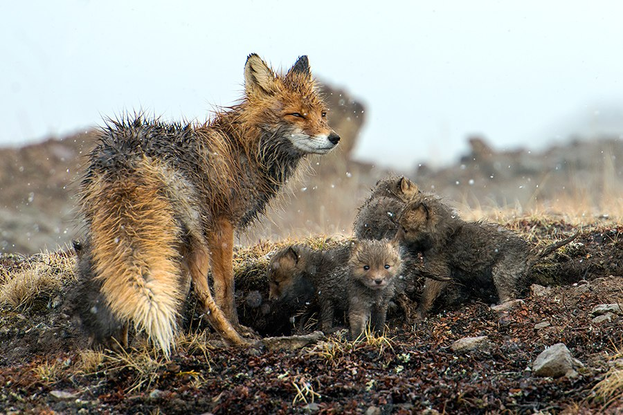 Chukotka animals: Lovely photos of Russian foxes by Ivan Kislov - 65