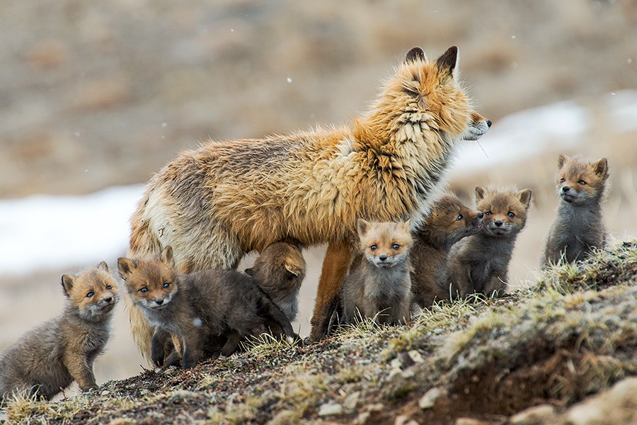Chukotka animals: Lovely photos of Russian foxes by Ivan Kislov - 66