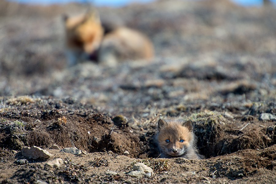 Chukotka animals: Lovely photos of Russian foxes by Ivan Kislov - 67