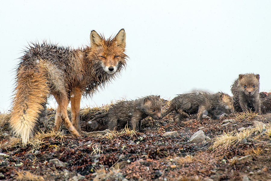 Chukotka animals: Lovely photos of Russian foxes by Ivan Kislov - 68