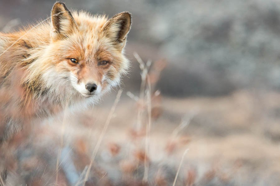 Chukotka animals: Lovely photos of Russian foxes by Ivan Kislov - 07