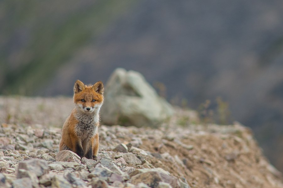 Chukotka animals: Lovely photos of Russian foxes by Ivan Kislov - 08
