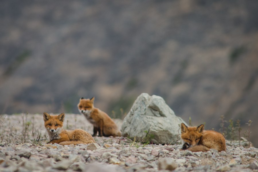 Chukotka animals: Lovely photos of Russian foxes by Ivan Kislov - 09