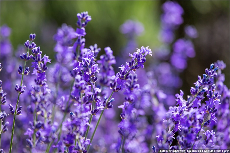Crimean Provence: Beautiful lavender fields of Crimean peninsula - 10