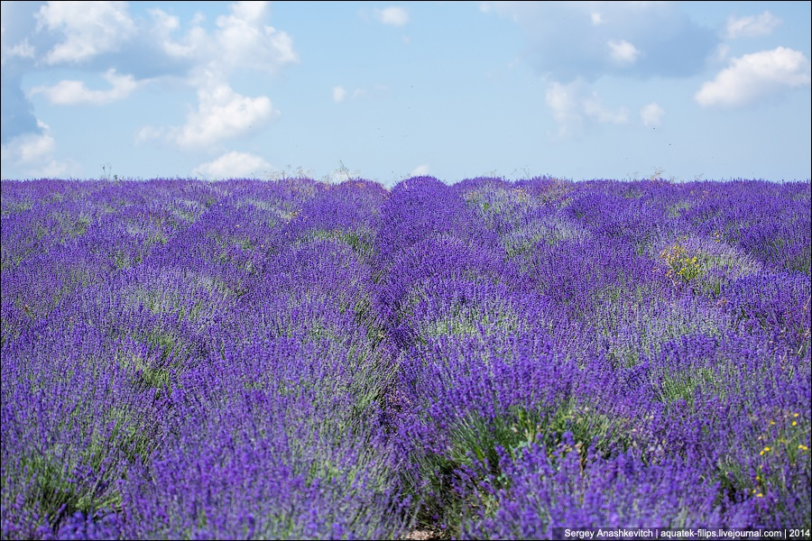 Crimean Provence: Beautiful lavender fields of Crimean peninsula - 11