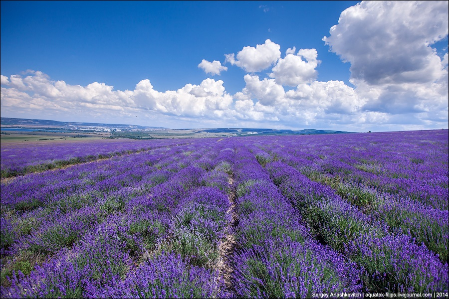 Crimean Provence: Beautiful lavender fields of Crimean peninsula - 12