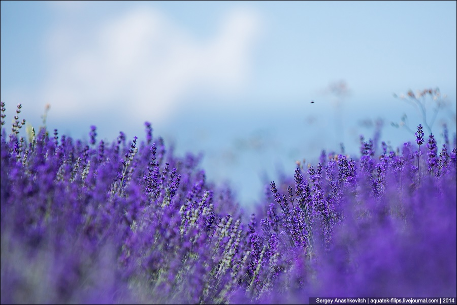 Crimean Provence: Beautiful lavender fields of Crimean peninsula - 08