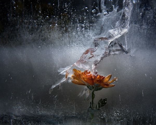 Ice and flowers: Nice frozen still-life photography by Vasilij Cesenov - 11