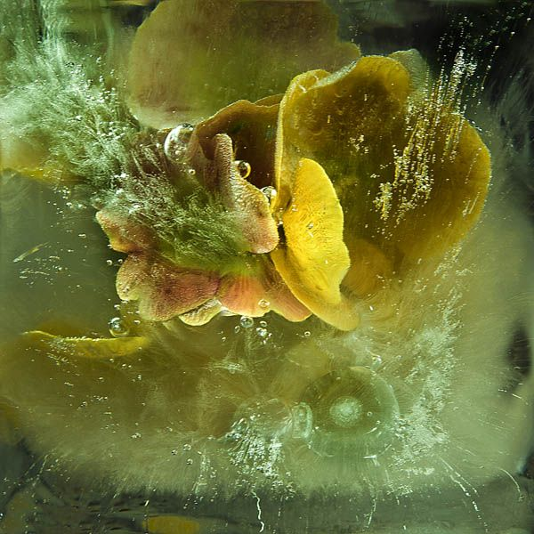Ice and flowers: Nice frozen still-life photography by Vasilij Cesenov - 20