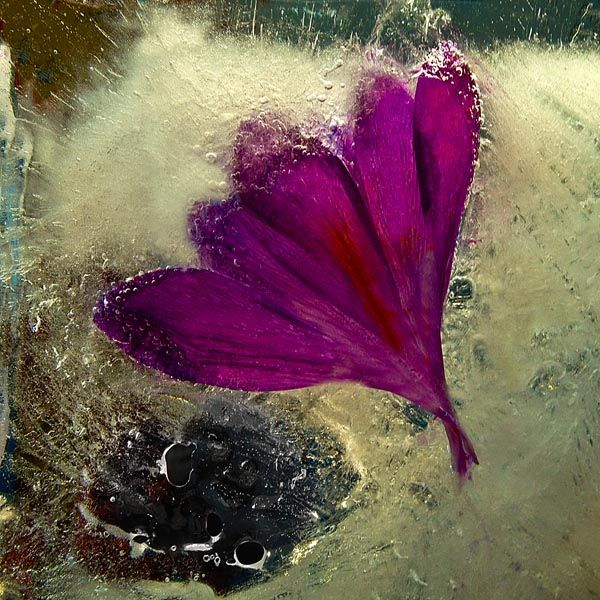 Ice and flowers: Nice frozen still-life photography by Vasilij Cesenov - 22