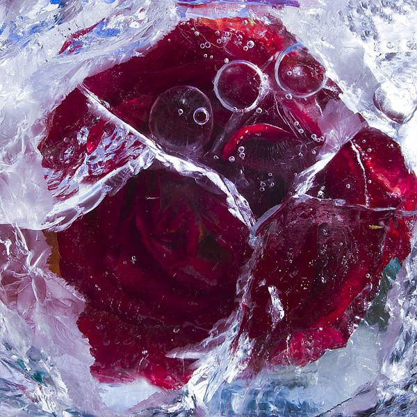 Ice and flowers: Nice frozen still-life photography by Vasilij Cesenov - 23