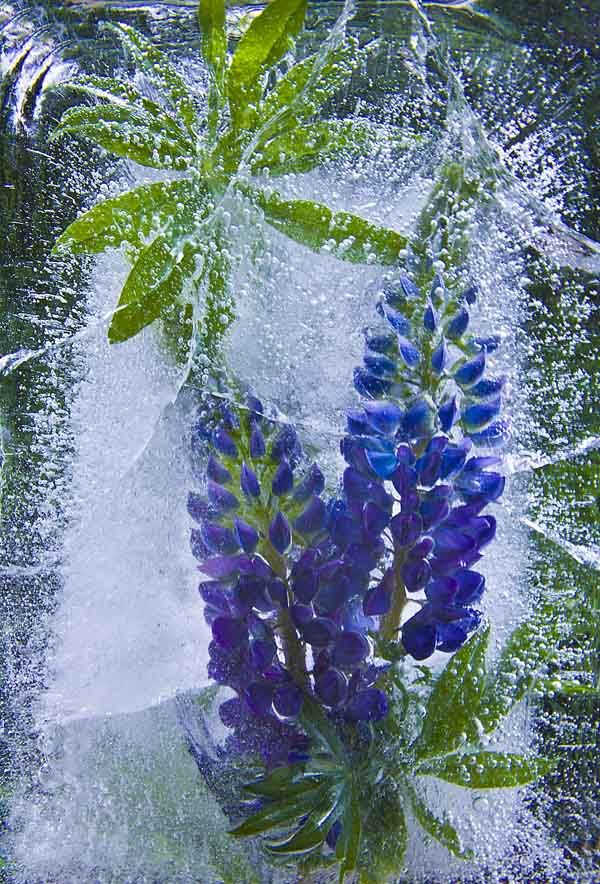 Ice and flowers: Nice frozen still-life photography by Vasilij Cesenov - 33
