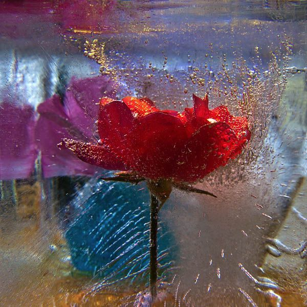 Ice and flowers: Nice frozen still-life photography by Vasilij Cesenov - 40