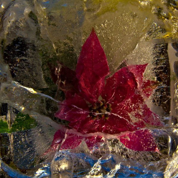 Ice and flowers: Nice frozen still-life photography by Vasilij Cesenov - 45