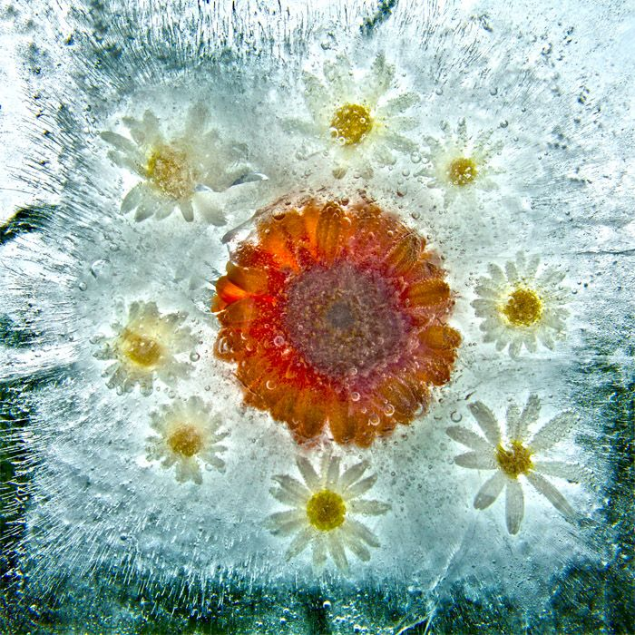 Ice and flowers: Nice frozen still-life photography by Vasilij Cesenov - 48