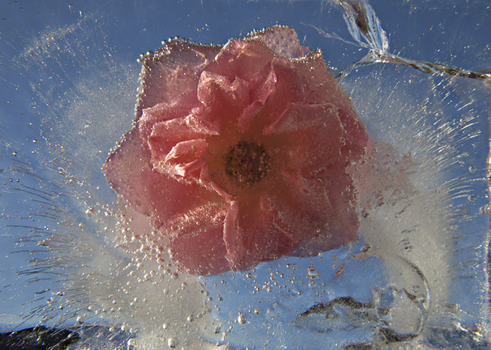Ice and flowers: Nice frozen still-life photography by Vasilij Cesenov - 50
