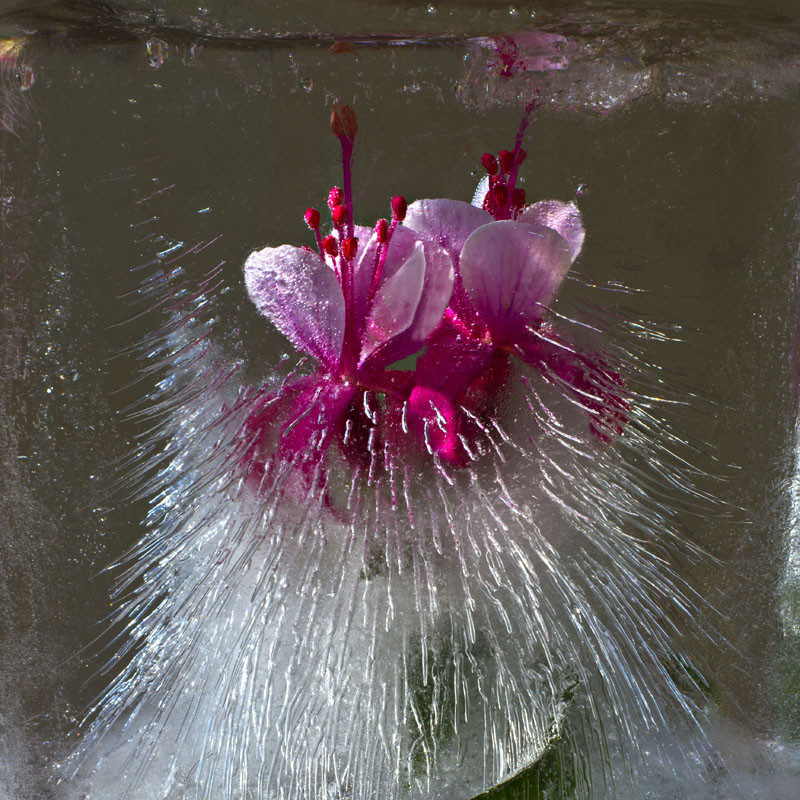 Ice and flowers: Nice frozen still-life photography by Vasilij Cesenov - 59