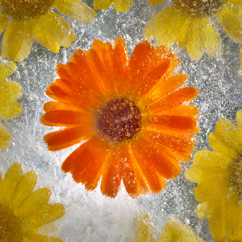 Ice and flowers: Nice frozen still-life photography by Vasilij Cesenov - 62