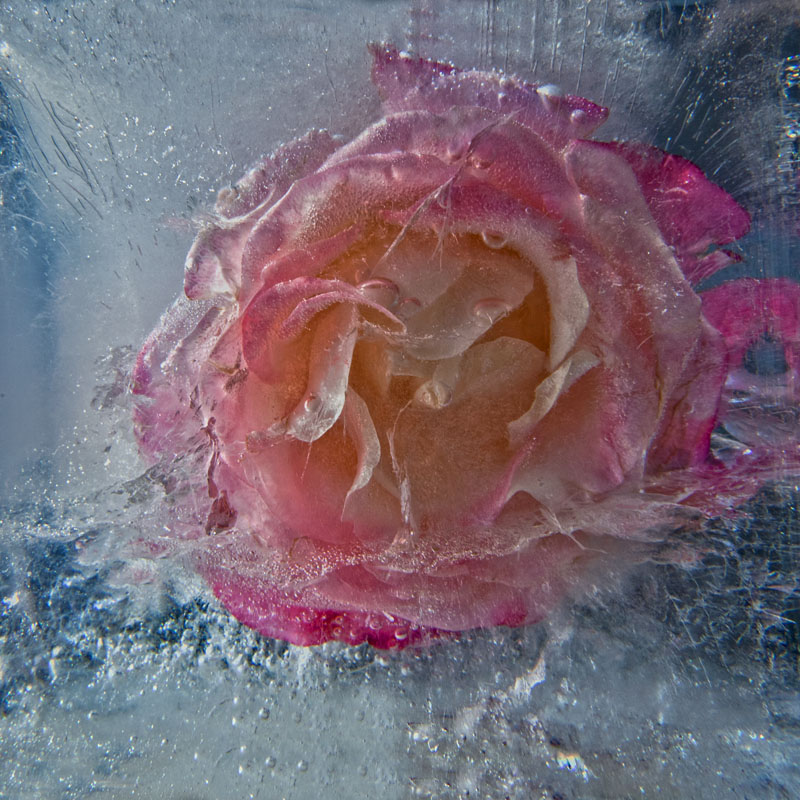 Ice and flowers: Nice frozen still-life photography by Vasilij Cesenov - 64