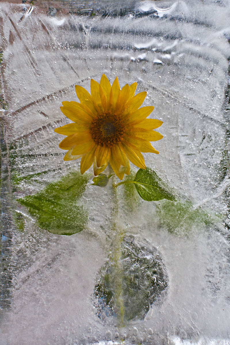 Ice and flowers: Nice frozen still-life photography by Vasilij Cesenov - 65