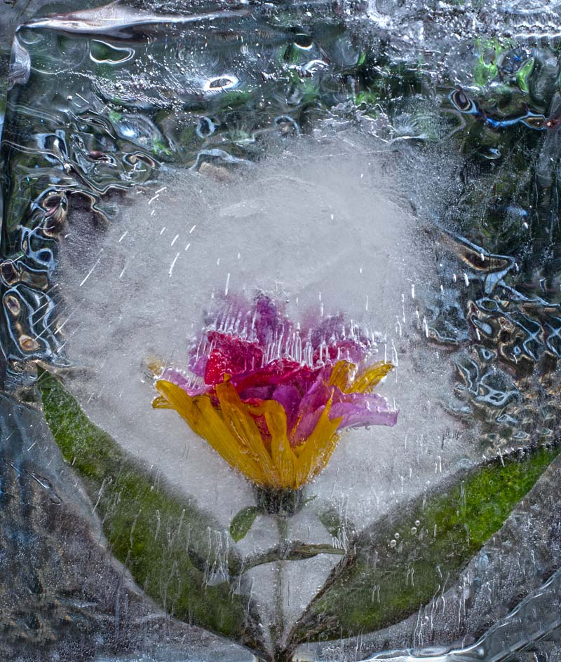 Ice and flowers: Nice frozen still-life photography by Vasilij Cesenov - 69